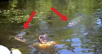 Cuando la guia entra en agua con los CAIMANES, los turistas no creen a sus ojos!