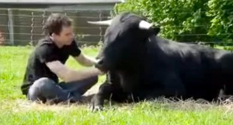 He saved this bull from bullfighting: their friendship will leave you speechless !