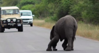 Un elefante sviene in mezzo alla strada: la reazione della sua famiglia è inimmaginabile