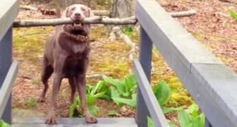 Sta cercando di superare il ponte col suo bastone... La conclusione è esilarante!