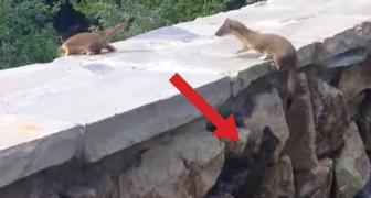 Eine Wieselfamilie klettert eine Mauer hoch, aber einer bleibt zurück: Das Finale ist süßf
