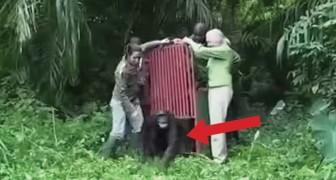 Ela salvou este macaco da morte: quando o libertam acontece algo emocionante!