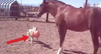 Um cachorro, um cavalo e um cone: diversão garantida