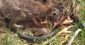 A snake catches a baby rabbit, but when the mother arrives, things change!