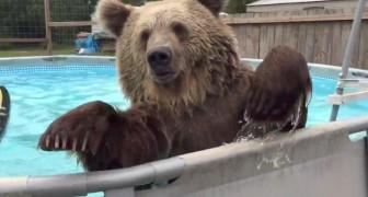 Wenn ein Bär im Pool ist, dann muss die Reaktion einfach umwerfend sein
