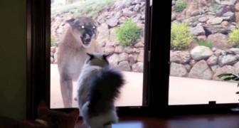 Een poema nadert het huis van dit gezin: de reactie van de kat is onbetaalbaar!