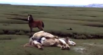 Ven a lo lejos un caballo en dificultad...lo que hacen le salvara la vida