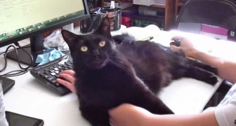 His cat doesn't allow him to work: here's his brilliant solution!