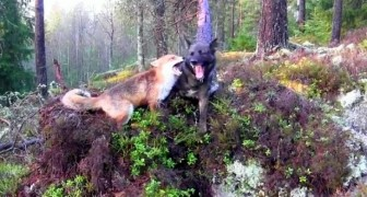 We think that dogs and foxes should be ENEMIES: these two will leave you speechless!