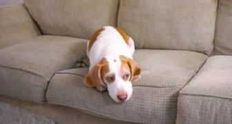 Ein Hund liegt gelangweilt auf dem Sofa, aber sein Besitzer macht ihm eine Überraschung... Wow!