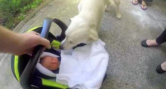 The parents take their newborn baby home, the dog's reaction is BEYOND their expectations