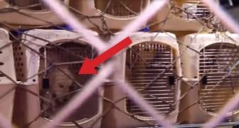 Um cachorro de rua é capturado e viaja 8000 km: quando chega ao destino encontrará uma surpresa!