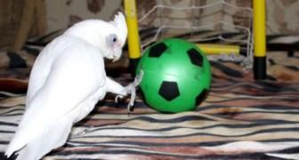 Um papagaio apaixonado por futebol