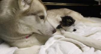 Una gattina orfana arriva in una nuova casa: ecco cosa avviene quando la presentano al cane