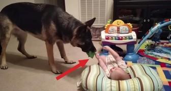 Deze hond komt zijn speeltje laten zien aan de baby: hij wordt beloond met schaterlachen!:)