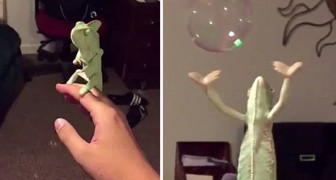 Ciò che fa questo camaleonte con le bolle di sapone è un vero spettacolo!
