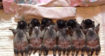 These Pug puppies sleeping all together are ADORABLE. Look the one to the left ...