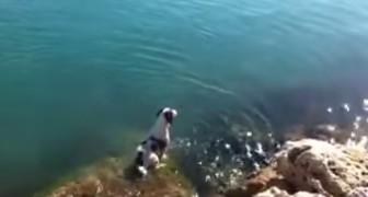 Een hond wacht op een klip op zijn vrienden en begroet ze op spectaculaire wijze... Wow!