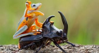 Un fotografo cattura il più piccolo rodeo del mondo: una rana in sella a uno scarabeo