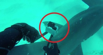 Logra a poner una videocamara al tiburon: las imagenes que toma son un encanto