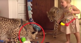 2 orphaned cheetah cubs are adopted: their relationship with the kids is unreal !