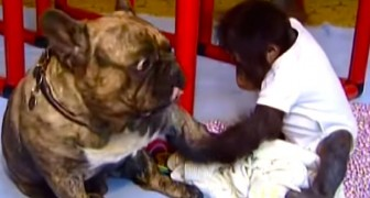 Un bébé ourang-outan a été abandonné par sa famille : voici sa rencontre avec ce chien...