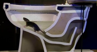 Veja como um rato pode subir pelos tubos do vaso sanitário com extrema facilidade...