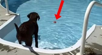 Logra hacer su PRIMER chapuzon en la piscina: la reaccion del labrador nos hara reir un poco