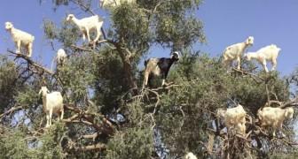 Als je denkt dat de foto van geiten in een boom gevalletje fotomontage is, dan moet je echt deze VIDEO bekijken...