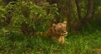 Uma leoa reecontra seu grupo depois de muitos dias separados: o momento é tocante!