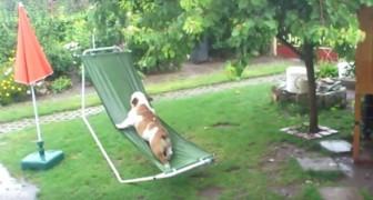 Este bulldog ama jugar en el jardin, pero la cosa sucede cuando comienza a llover