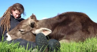A bull rests his head on this girl's legs ... His behavior is unbelievable !