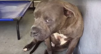 Este pitbull es usado para combatir: esto sucede cuando alguien le demuestra afecto