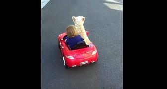 O menino quer dirigir o carrinho, mas veja o que faz seu cão!