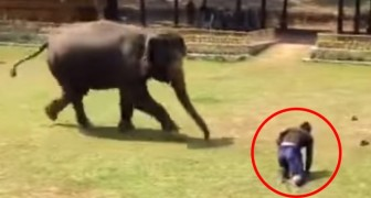 The man who takes care of him trips up: the reaction of this elephant gave me goosebumps