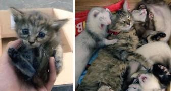 Un gattino viene adottato da una famiglia di furetti. E ora crede di essere un furetto.