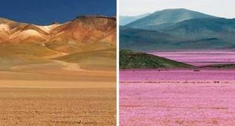 C'est le lieu le plus aride sur terre, mais tous les 7ans a lieu un phénomène impressionnant