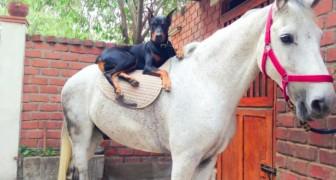 On l'appelle le chien qui murmurait à l'oreille des chevaux : avec cette vidéo vous comprendrez pourquoi!