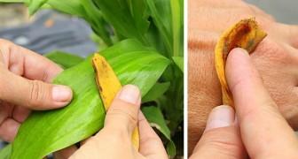 Gebruik Bananenschillen Op Deze 6 Onverwacht Handige Manieren