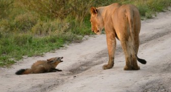 Una leonessa incontra una giovane volpe, ma il suo comportamento lascia i fotografi increduli