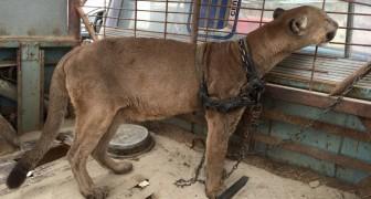 Ein Puma lebte 20 Jahre lang angekettet in einem Zirkus: Hier seine ersten Schritte im Wald