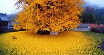 Deze boom zorgt al 1400 jaar lang voor een adembenemend spektakel