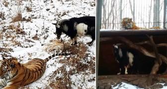 Danno alla tigre una capra da mangiare, ma non avviene ciò che si aspettavano
