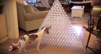 Sein Besitzer hat einen Turm aus Plastikflaschen gebaut. Was er dann macht, ist Spaß pur ;)