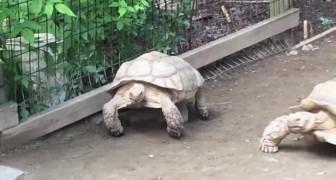 Una tartaruga rimane incastrata: quello che fa la sua compagna è INCREDIBILE