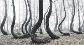Personne n'a encore réussi à percer le mystère de cette curieuse forêt tordue