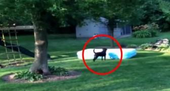 I bambini si nascondono sotto la piscina: ciò che fa il cane vi farà piegare dalle risate
