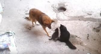 Mutter Katze stellt ihre Kätzchen ihrem alten Freund vor... Seine Reaktion ist toll