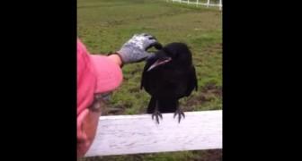Eine Krähe setzt sich auf einen Zaun und kräht stundenlang. Am Ende verstehen sie auch, warum