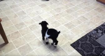 Un cucciolo di capra prova a saltare per la prima volta... La sua tenerezza è irresistibile!